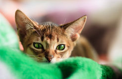 Abyssinian cat. Young Abyssinian cat in action photo stock photo