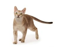 Abyssinian cat. On white background stock photo