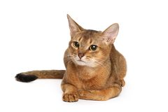 Abyssinian cat. On white background royalty free stock image