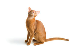 Abyssinian cat Stock Photography