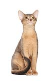 Abyssinian cat. On white background stock images