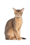 Abyssinian cat. On white background stock photos