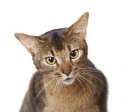 Abyssinian cat. On a white background royalty free stock image