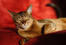 Abyssinian cat. Verry cool and wounderful young abyssinian cat photo Stock Images