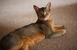 Abyssinian cat. Verry cool and wounderful young abyssinian cat photo Royalty Free Stock Images