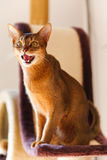 Abyssinian cat. Verry cool and wounderful young abyssinian cat photo Stock Photos