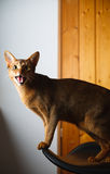 Abyssinian cat. Verry cool and wounderful young abyssinian cat photo Stock Photography