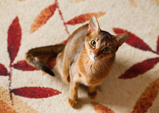 Abyssinian cat. Verry cool and wounderful young abyssinian cat photo stock photo