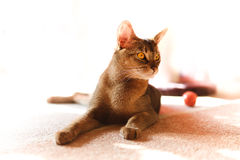 Abyssinian cat. Verry cool and wounderful young abyssinian cat photo Royalty Free Stock Photography