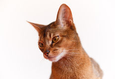Abyssinian cat. Verry cool and wounderful young abyssinian cat photo Royalty Free Stock Image