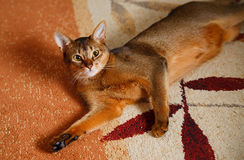 Abyssinian cat. Verry cool and wounderful young abyssinian cat photo Royalty Free Stock Photo