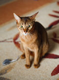 Abyssinian cat. Verry cool and wounderful young abyssinian cat photo Stock Image