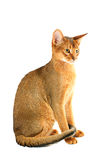 Abyssinian cat. Purebred abyssinian young cat isolated on white stock photos