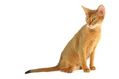 Abyssinian cat. Purebred abyssinian young cat isolated on white stock photography