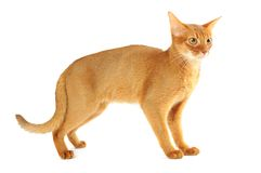 Abyssinian cat Stock Images