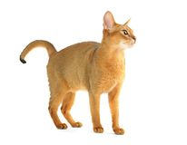 Abyssinian cat Royalty Free Stock Photos