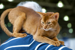 Abyssinian cat. On owner shoulders at cat show stock photo