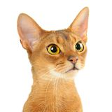 Abyssinian cat. Purebred abyssinian young cat portrait isolated on white royalty free stock image