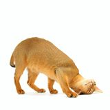 Abyssinian cat. Playful purebred abyssinian young cat isolated on white royalty free stock photography