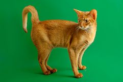 Abyssinian cat. Purebred abyssinian young cat on the green background stock image