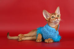 Abyssinian cat. Over red background stock photos