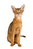 Abyssinian cat. Over white background royalty free stock photography