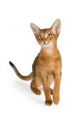 Abyssinian cat. Over white background royalty free stock photos