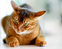 Abyssinian cat. With brown a wool with watchfulness looks towards danger stock photography