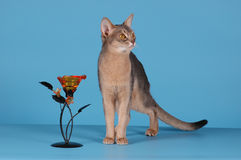 Abyssinian cat. Blue color with flower on blue background royalty free stock photography