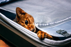 Abyssinian cat in the bag. Beautiful Abyssinian cat in a suitcase royalty free stock images