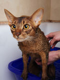 Abyssinian cat bathing Stock Photos