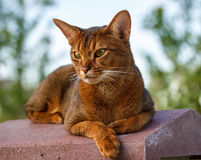 Abyssinian cat. Beautiful Abyssinian cat close up royalty free stock photo