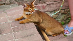 Abyssinian cat. Royalty Free Stock Image