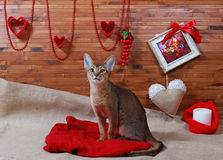Abyssinian cat. Beautiful Abyssinian cat on valentines day royalty free stock photos