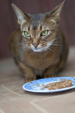 Abyssinian cat. Breed for a bowl with food Stock Photos