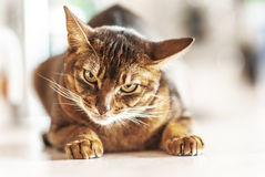Abyssinian cat. With brown a wool with watchfulness looks towards danger stock photos