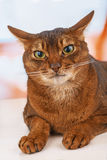 Abyssinian cat. With brown a wool with watchfulness looks towards danger royalty free stock photos