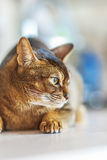 Abyssinian cat Stock Image