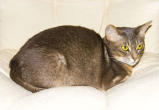 Abyssinian cat on chair pillow, symbol of comfort Stock Photos