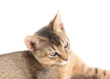 Abyssinian cat close up Royalty Free Stock Photos