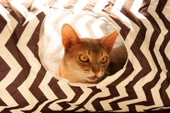 Abyssinian cat. Close up portrait of blue abyssinian female cat, sitting in striped tunnel. stock images