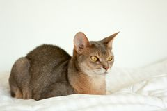 Abyssinian cat. Close up portrait of blue abyssinian female cat, sitting on white blanket. Pretty cat on white background. stock photography