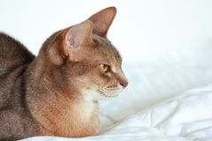 Abyssinian cat. Close up portrait of blue abyssinian female cat, sitting on white blanket. Pretty cat on white background. royalty free stock photo