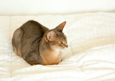 Abyssinian cat. Close up portrait of blue abyssinian female cat, sitting on white blanket. Pretty cat on white background. Cute stock photography
