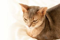 Abyssinian cat. Close up portrait of blue abyssinian female cat, sitting on white blanket. Pretty cat on white background. Cute royalty free stock photos