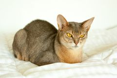 Abyssinian cat. Close up portrait of blue abyssinian female cat, sitting on white blanket. Pretty cat on white background. Cute stock image