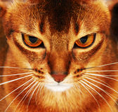 Abyssinian cat closeup. Dark background royalty free stock photo