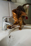 Abyssinian cat drinks water Royalty Free Stock Photos