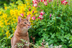 Abyssinian cat in flowers Royalty Free Stock Photography