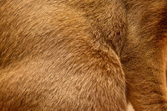 Abyssinian cat fur texture Stock Images